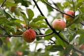 Organic Apples Hanging From A Tree Branch, Apple Fruit Close Up, Large Ripe Apples Clusters Hanging  poster