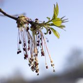 Close Up Of The Flowering Acer Negundo, Box Elder, Boxelder Maple, Ash-leaved Maple, Maple Ash, Elf, poster