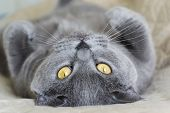 Cat Looking At The Camera. British Shorthair Purebred Male Cat Lying On His Back And Looking In Your poster