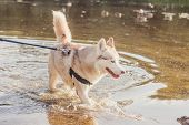 Husky Portrait. Young Husky Dog On A Walk In The Water. Husky Breed. Light Fluffy Dog. Walk With The poster