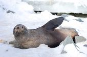 The Antarctic Fur Seal, Sometimes Called The Kerguelen Fur Seal, Also Known As Arctocephalus Gazella poster