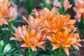 Orange Flowe At Winter Or Spring Day. Lovely Spring Orange Flowers. Spring Flower Landscape. Spring  poster