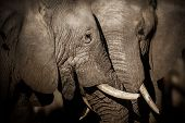 Amazing African Elephants. Huge Elephants Male In Front Of The Camera. Wildlife Scene With Dangerous poster