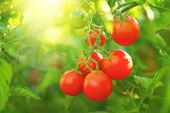 Tomatoes Fresh and ripe organic Cherry tomato plant growing in a garden. Diet, dieting, healthy vega poster