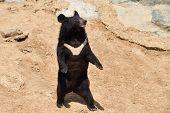 The Asian Black Bear poster