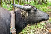 stock photo of carabao  - Water Buffalo in the Philippines harnessed yoked and about to haul logs - JPG