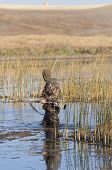 pic of pintail  - Duck hunting in a marsh with waders - JPG