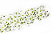 foto of meadowsweet  - Spirea  - JPG