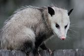 picture of nocturnal animal  - Virginia opossum - JPG