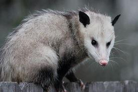 pic of opossum  - Virginia opossum - JPG