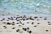 picture of green turtle  - Turtle Hatchlings taking their first steps down the beach and into the ocean