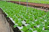 pic of hydroponics  - Salad Vegetables Farm With The Hydroponics System - JPG