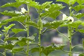 foto of okras  - Okra plant in garden with okra flower and grown and baby okras.