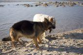 stock photo of english setter  - english setter and german shepherd on sand beach coast in Poland - JPG