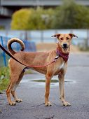 stock photo of mongrel dog  - The red not purebred dog costs on the road - JPG