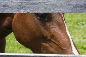 stock photo of split rail fence  - Large brown horse peering through high wooden split - JPG