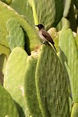 stock photo of bulbul  - African Red - JPG