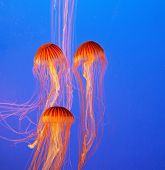 Three picturesque red-orange jellyfish in the aquarium. Dark-blue water beautifully lit