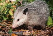 image of opossum  - A curious Virginia Opossum emerges from the shadows of the forest to search for food in the undergrowth - JPG