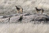 image of coyote  - A pair of Coyotes on a rock outcropping - JPG