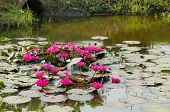 picture of hydrophytes  - Pink waterlily blooming in pond Nymphaea pubescens - JPG