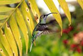 Постер, плакат: Violet Sabrewing Hummingbird