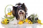 foto of rare flowers  - beaver yorkshire terrier and  easter eggs - JPG