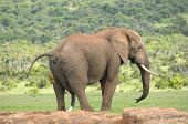 stock photo of peeing  - Elephant pooping and peeing Addo Elephant National Park South Africa - JPG