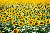 stock photo of heliotrope  - Sunflower field with blooming sea of sunflowers - JPG