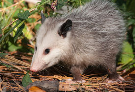 foto of opossum  - A curious Virginia Opossum emerges from the shadows of the forest to search for food in the undergrowth - JPG