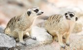 foto of meerkats  - The cute couple meerkat on the ground - JPG