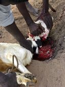 foto of slaughter  - Slaughtering a goat in a ritual sacrifice on the Muslim public holiday known as Tabaski or Eid Al Adha.