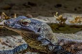foto of komodo dragon  - A close up of a baby Komodo Dragon - JPG