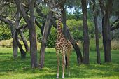 foto of terrestrial animal  - The giraffe is an African even - JPG