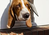stock photo of basset hound  - Nervous Basset hound peaking head cautiously out of pet door