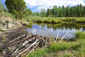image of beaver  - Beaver pond and dam in the mountains - JPG