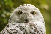 picture of snow owl  - portrait  White snow owl  - JPG