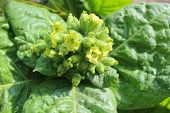 stock photo of tobacco leaf  - yellow and beautiful flowers of tobacco with big leaves - JPG
