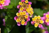 stock photo of lantana  - Yellow and purple flower plants Lantana Camara in full bloom - JPG