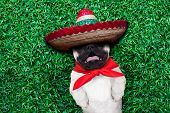 picture of mexican-dog  - pug dog sleeping siesta on grass in the park and snoring loud with open mouth - JPG