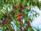 stock photo of peach  - Sweet peach fruits growing on a peach tree in the garden - JPG