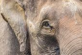 image of indian elephant  - Close up of Indian elephant face Malaysia  Asia - JPG