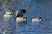 stock photo of canada goose  - Canada Goose Stretching Its Wings Among Friends - JPG