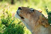 picture of leo  - Closeup of female lion ( Panthera leo ) resting in savanna ** Note: Soft Focus at 100%, best at smaller sizes - JPG