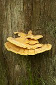 stock photo of edible mushroom  - edible mushroom  - JPG