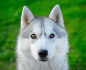 stock photo of husky sled dog breeds  - portrait of Siberian Husky dog, green background