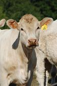 picture of charolais  - Charolais cattle are a beef breed which originated in Charolais - JPG