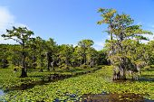 picture of tillandsia  - Cypress trees at Caddo Lake in Texas state - JPG