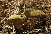 foto of edible mushroom  - Edible mushrooms - JPG