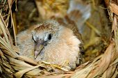 foto of ringneck  - closeup of a Ringneck Dove chick in the nest - JPG